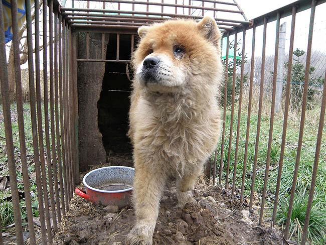 Noé Állatotthon Alapítvány - The Chow Rescue Project